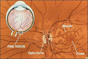 Schematic of Macula