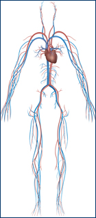 Image of the Vascular system