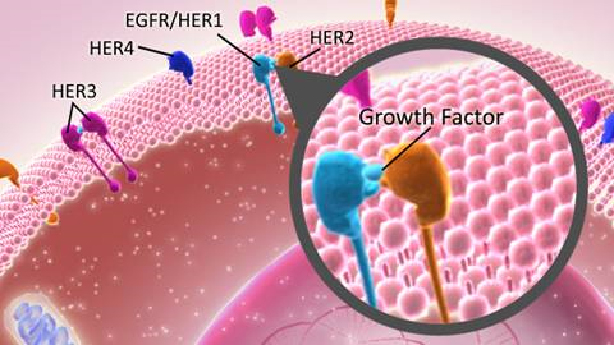 Dimerization of receptors involved with breast cancer. Image is courtesy of National Cancer Institute.